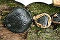 Camarops petersii (Berk. & M.A. Curtis) Nannf 315854.jpg