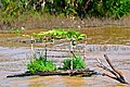 Cambodia-2875 - Floating Garden (3642820695).jpg