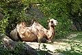 Camel - Bojnice ZOO.jpg