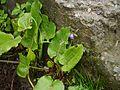 Campanula pallida (7856484178).jpg