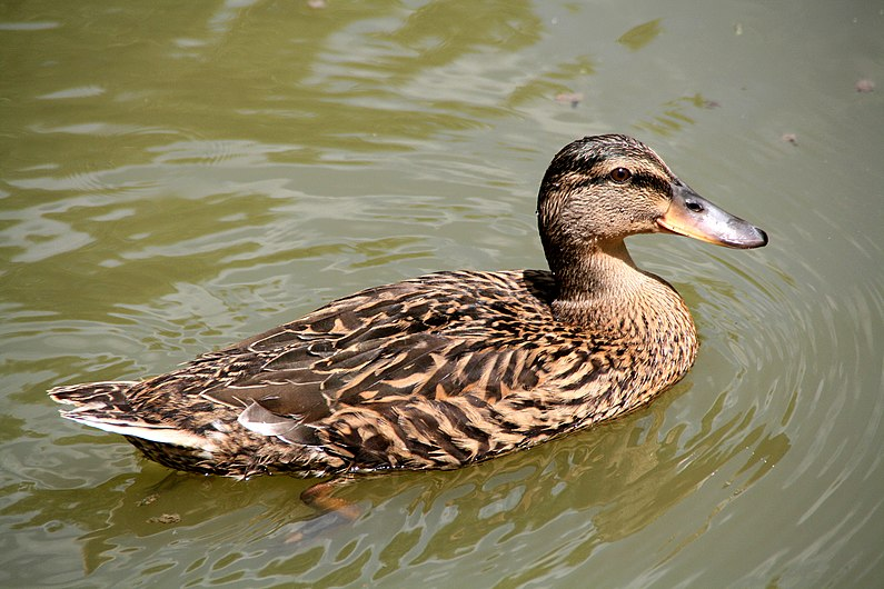 Canard Colvert femelle.jpg