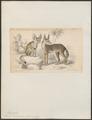Canis zerda - 1833-1866 - Print - Iconographia Zoologica - Special Collections University of Amsterdam - UBA01 IZ22200417.tif