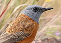 Cape Rock Thrush, Monticola rupestris at Marakele National Park, South Africa (13936117488).jpg