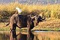 Cape buffalo Bull.jpg