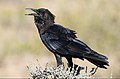 Cape crow, Corvus capensis, at Kgalagadi Transfrontier Park, Northern Cape, South Africa (36040533236).jpg