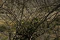 Capparis spinosa1001.jpg