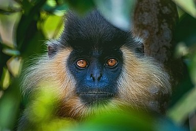 Capped Leaf Monkey.jpg