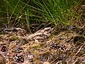 Caprimulgus europaeus no.1 nightjar nachtschwalbe.jpg