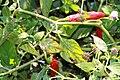 Capsicum pubescens Serrano del Sol 2zz.jpg