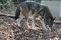 Captive male red wolf (7747761838).jpg