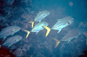 Jack crevalle - Caranx hippos Image ID: reef15...
