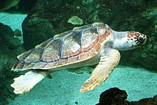 Photo of a loggerhead swimming above a reef