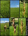 Carex disticha (01).jpg