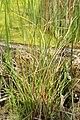 Carex extensa kz01.jpg
