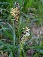 Carex hirta inflorescens (35).jpg