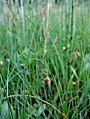Carex limosa inflorescens (21).jpg