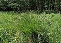Carex paniculata kz06.jpg