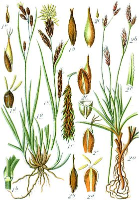 Links Illustration der Eis-Segge (Carex frigida), rechts der Polster-Segge (Carex firma)