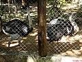 Casal de emas (Rhea americana) Apesar de possuir grandes asas, não voa. Usa as asas para se equilibrar e mudar de direção na corrida. Tem a peculiaridade de serem os indivíduos masculinos os respons - panoramio.jpg