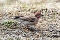 Cassin's Finch (Carpodacus cassinii) (20351342705).jpg