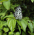 Castalius rosimon - Common Pierrot on the hostplant Ziziphus oenoplia - Jackal Jujube 28.JPG