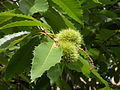 Castanea - chestnuts on a tree.jpg