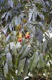 Castanospermum australe flowers and foliage.jpg