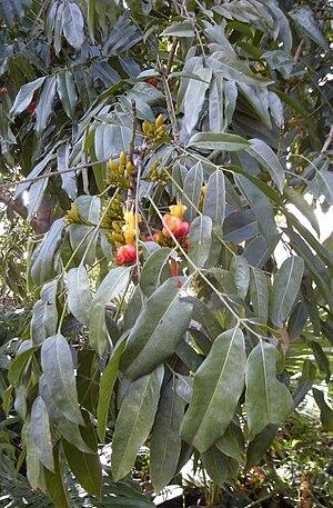 Castanospermum - C. australe
