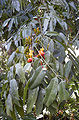 Castanospermum australe flowers and foliage.jpg