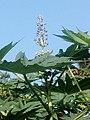 Casterplant 04.jpg