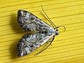 Cataclysta lemnata - Small china-mark - Огнёвка рясковая (40777733962).jpg