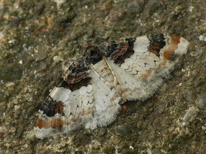 File:Catarhoe cuculata1.JPG