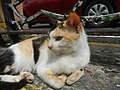 Cats in t1302Cats in the Philippines 26.jpg