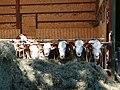 Cattle @ Saint-Jorioz (50471377327).jpg