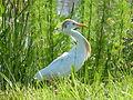 Cattle egret (12331555794).jpg