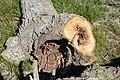 Cavités dans des bûches de peuplier blanc (37).JPG