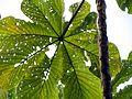 Cecropia Herbivory - Flickr - treegrow (1).jpg