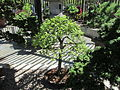 Cedar Elm, Larz Anderson Bonsai Collection, Jamaica Plain MA.jpg