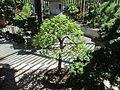 Cedar Elm, Larz Anderson Bonsai Collection, Jamaica Plain MA.jpg