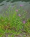 Centaurea jacea in Montriond (3).jpg