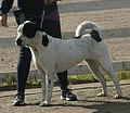 Central Asian Shepherd white & black 3.jpg