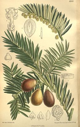 Cephalotaxus harringtonia. Ботанічна ілюстрація з Curtis's Botanical Magazine. – London, 1909. – vol. 135