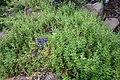 Cerastium arvense - Regional Parks Botanic Garden, Berkeley, CA - DSC04502.JPG