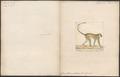 Cercopithecus sabaeus - 1700-1880 - Print - Iconographia Zoologica - Special Collections University of Amsterdam - UBA01 IZ19900083.tif