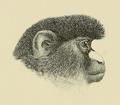 Cercopithecus signatus.png