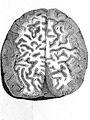 """Cerebral cortex, """"De peculiari structura....."""", Gennari, 1782 Wellcome L0001962.jpg"""