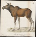 Cervus alces - 1818-1842 - Print - Iconographia Zoologica - Special Collections University of Amsterdam - UBA01 IZ21500094.tif