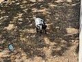 Chèvre Parcelle près Place Champ Foire - Marcigny - 2020-08-15 - 1.jpg