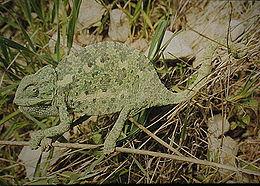 http://upload.wikimedia.org/wikipedia/commons/thumb/5/53/Chamaeleo.chamaeleon.bl1.jpg/260px-Chamaeleo.chamaeleon.bl1.jpg