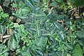 Chamaeranthemum beyrichii rotundifolium kz2.jpg